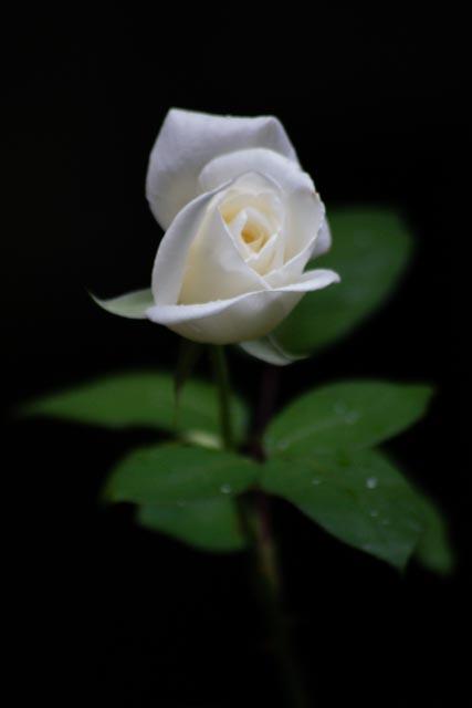 Una rosa bajo la lluvia.