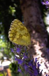 mariposas3